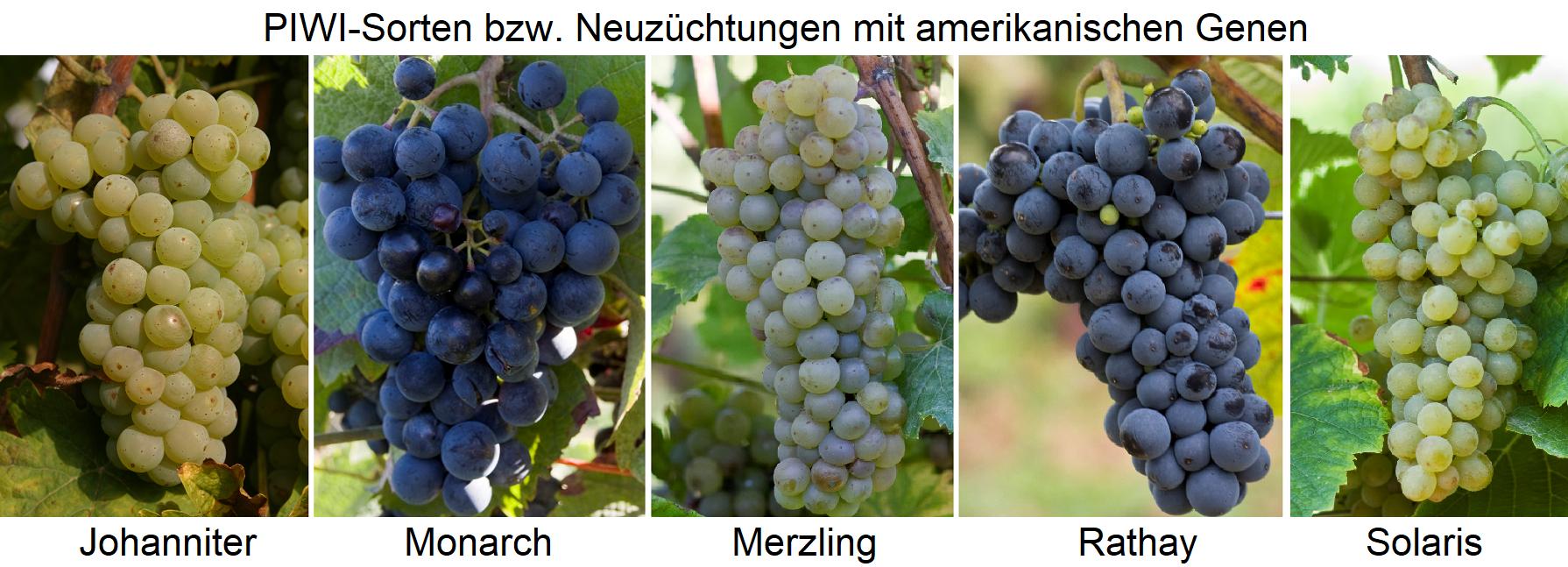 PIWI varieties - Johanniter, Monarch, Merzling, Rathay, Solaris
