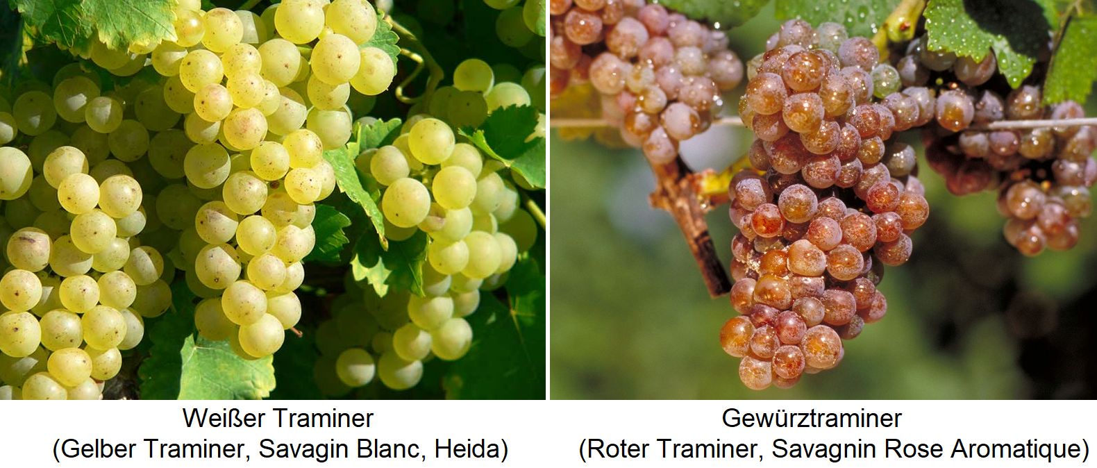 Traminer - White / Yellow Traminer (Savagnin Blanc) and Gewürztraminer