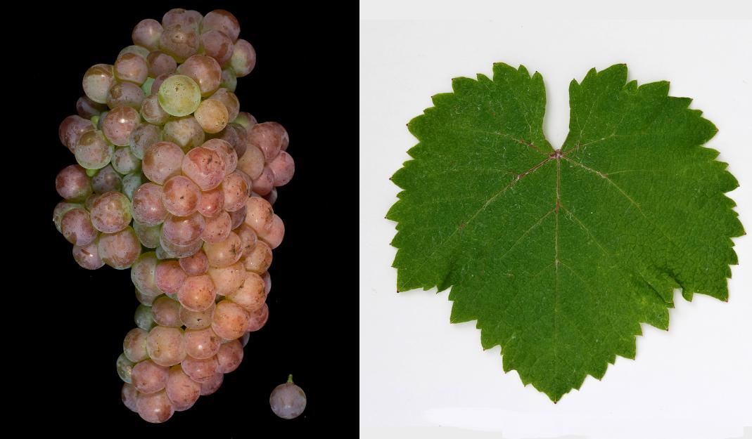 Kövidinka - grape and leaf
