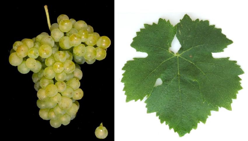 Pozsonyi - grape and leaf