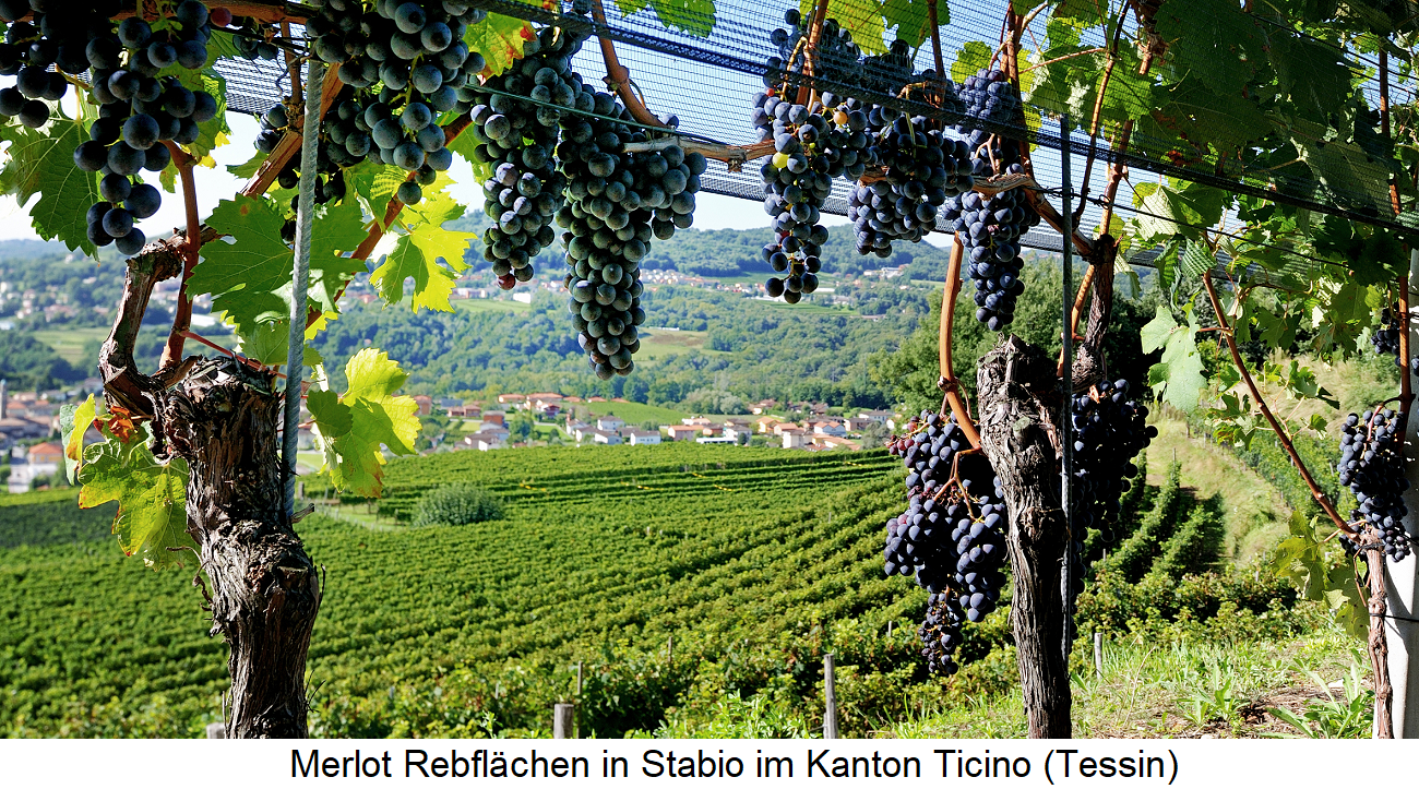 Merlot - vineyards in Stabio in the canton of Ticino (Switzerland)