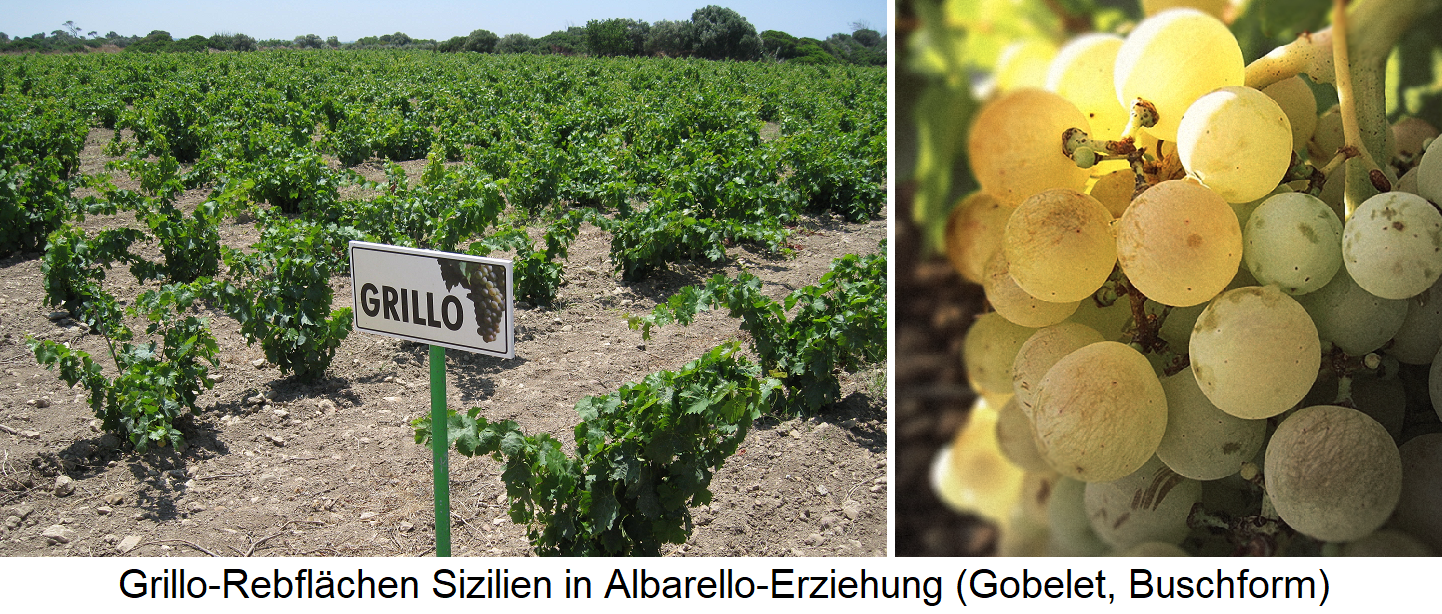 Grillo - vineyards in Sicily in Albarello education and grapes