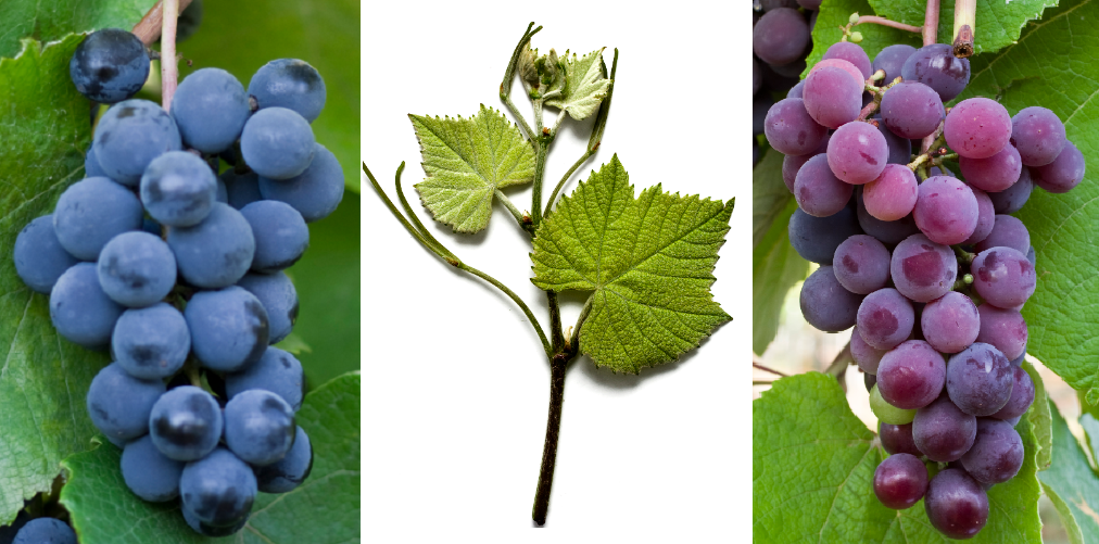 Isabella - grape blue, leaf, grape violet