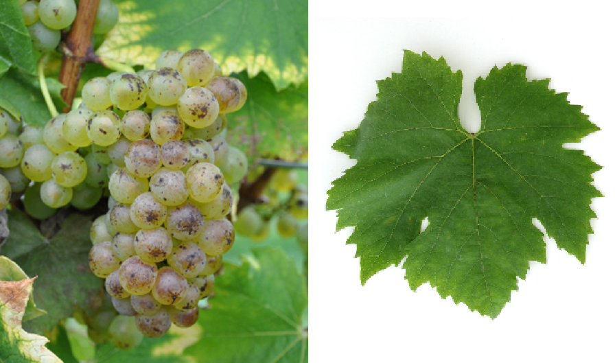 Goldburger Non Identified - grape and leaf