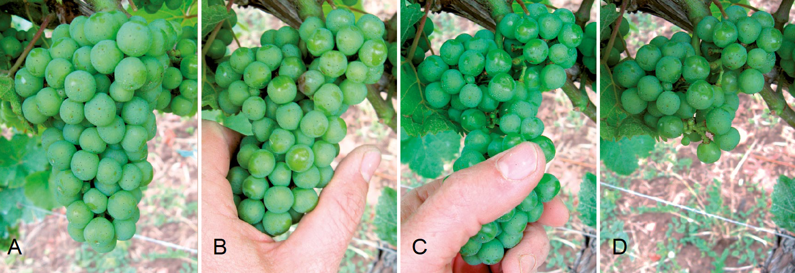 Grape break - steps A, B, C and D