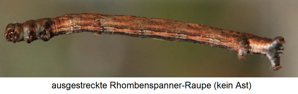 Rhombus tensioner - stretched caterpillar (similar to a branch)