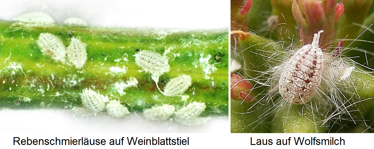 Vine lubrication - lice on vine leaf stem and louse on milkweed