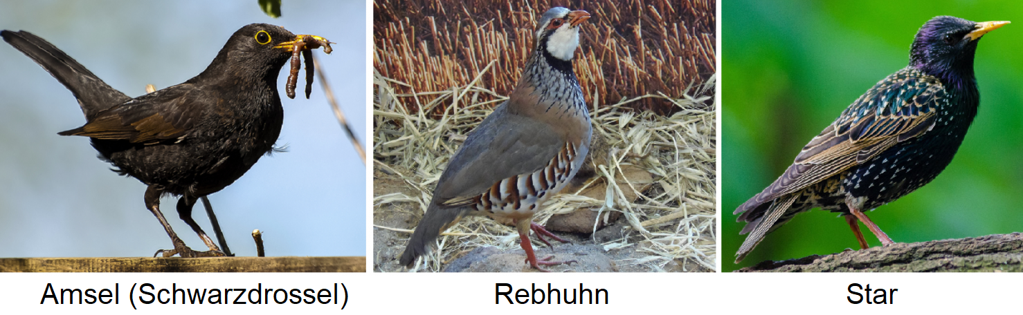 Males - blackbird, partridge, starling