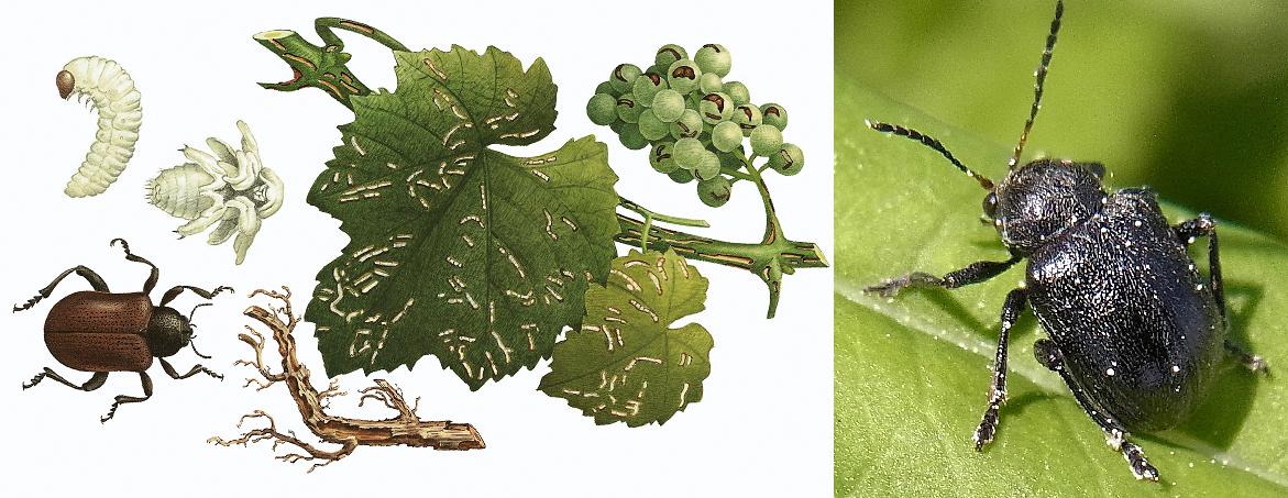 Grapevine beetle - development and beetle