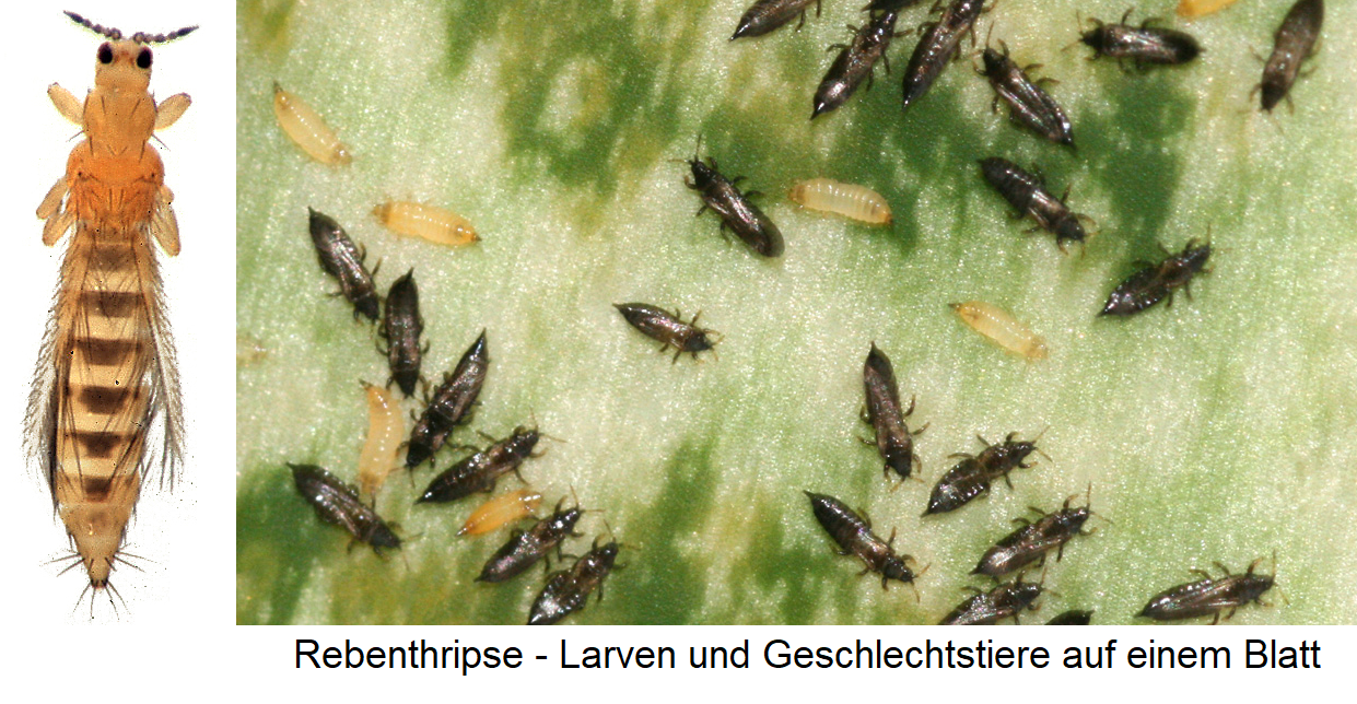 Rebenthripse - larvae and sex animals on a leaf