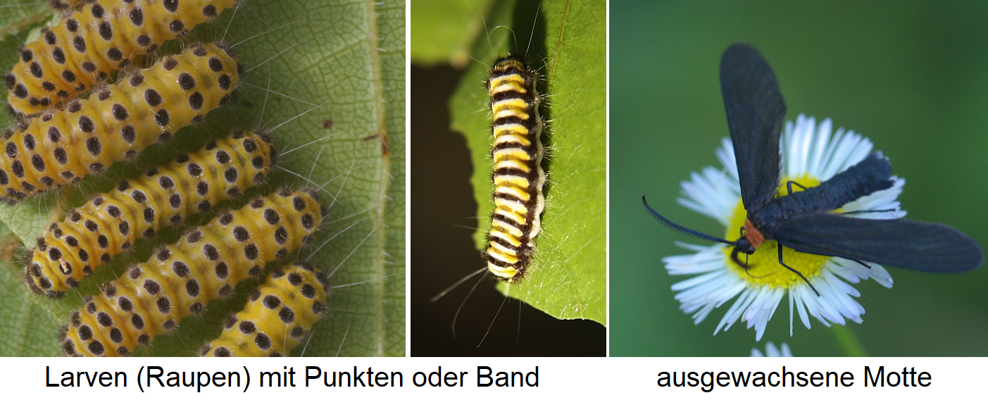 Western Grapeleaf - Larvae with dots or stripes and adult moth