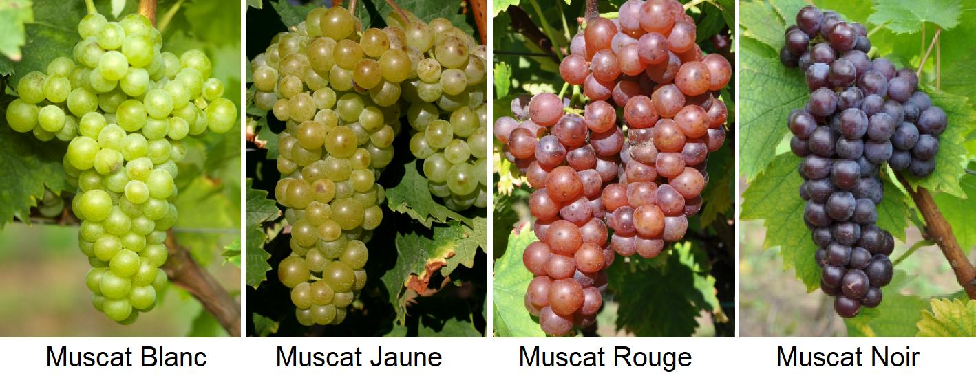 Muscatel - Muscat Blanc, Muscat Jaune, Muscat Rouge, Muscat Noir
