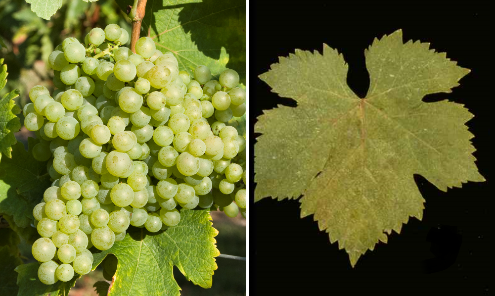 Piquepoul Blanc - grape and leaf