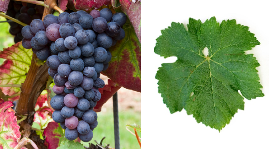 Trousseau Noir - Weintraube und Blatt