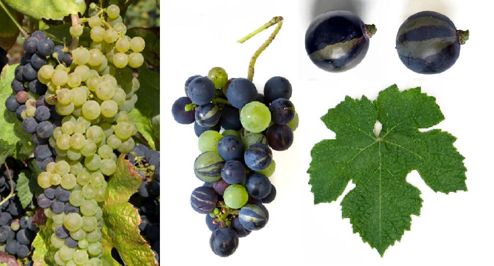 Tressot Panaché - grape and leaf