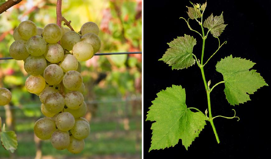 Panaché Blanc - grape and leaf