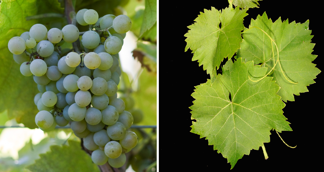 Muscat du Moulin - grape and leaf
