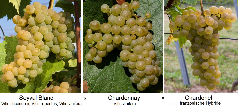 interspecific crossing - Seyval Blanc x Chardonnay = Chardonel