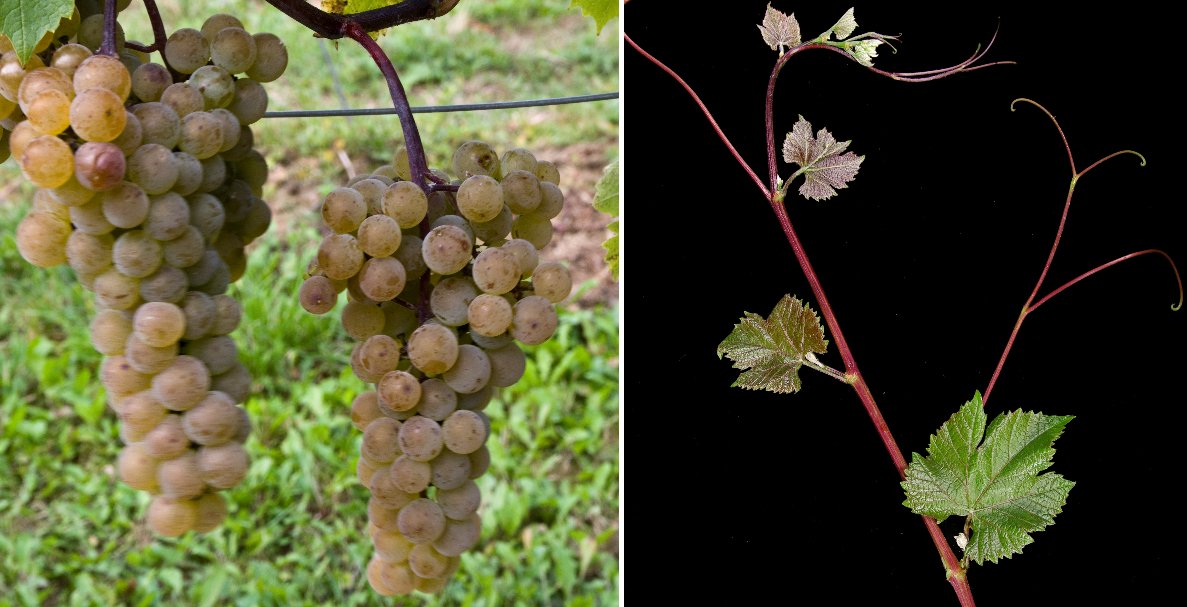 St. Pepin - grape and leaf