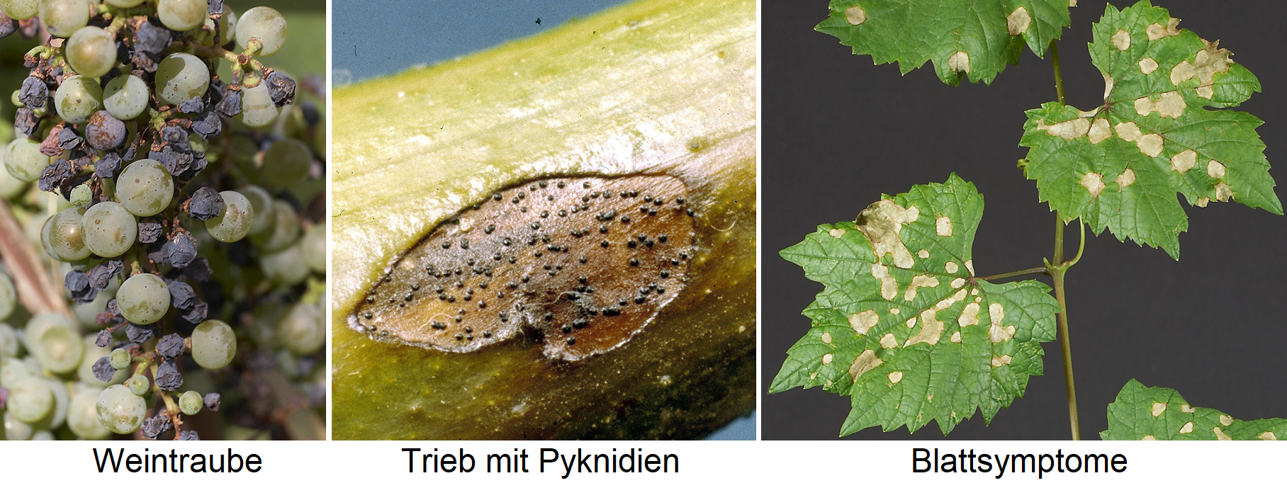 Schwarfäule - infested grape, shoot with pycnidia and leaf symptoms