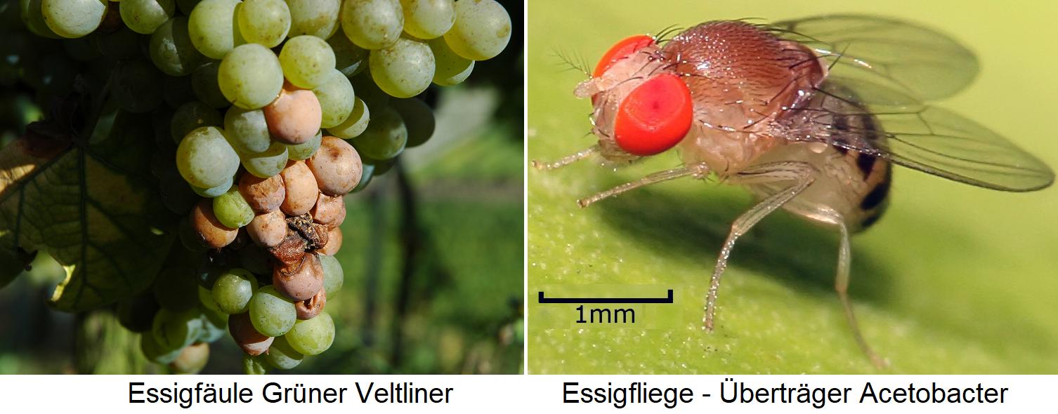 Vinegar rot - Grüner Veltliner and vinegar fly - transmitter Acetobacter