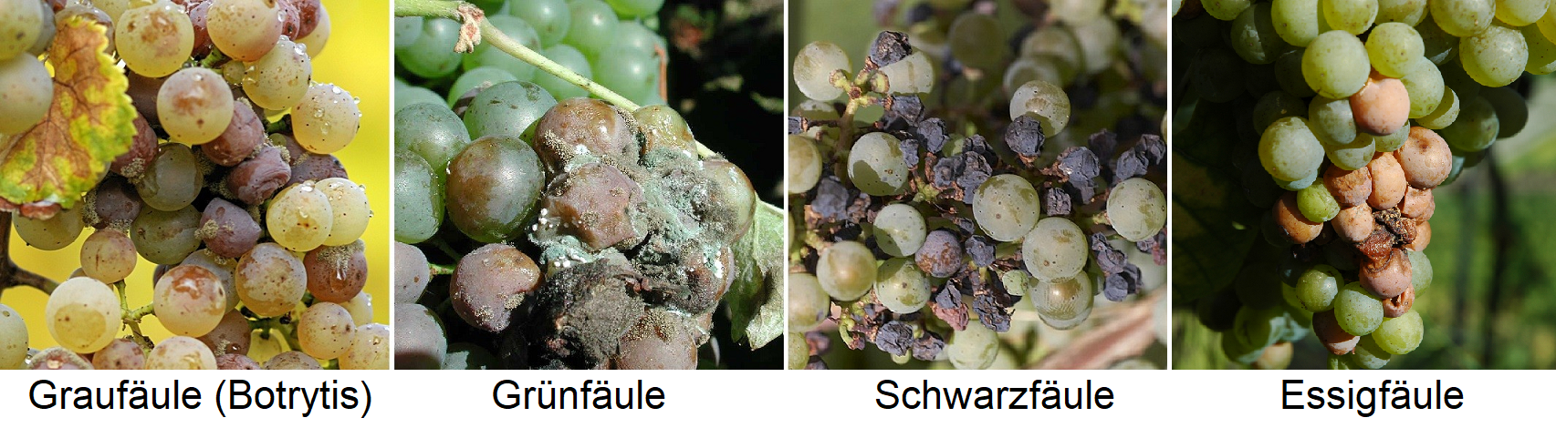 Grape rot - gray rot (botrytis), green rot, black rot, vinegar blight
