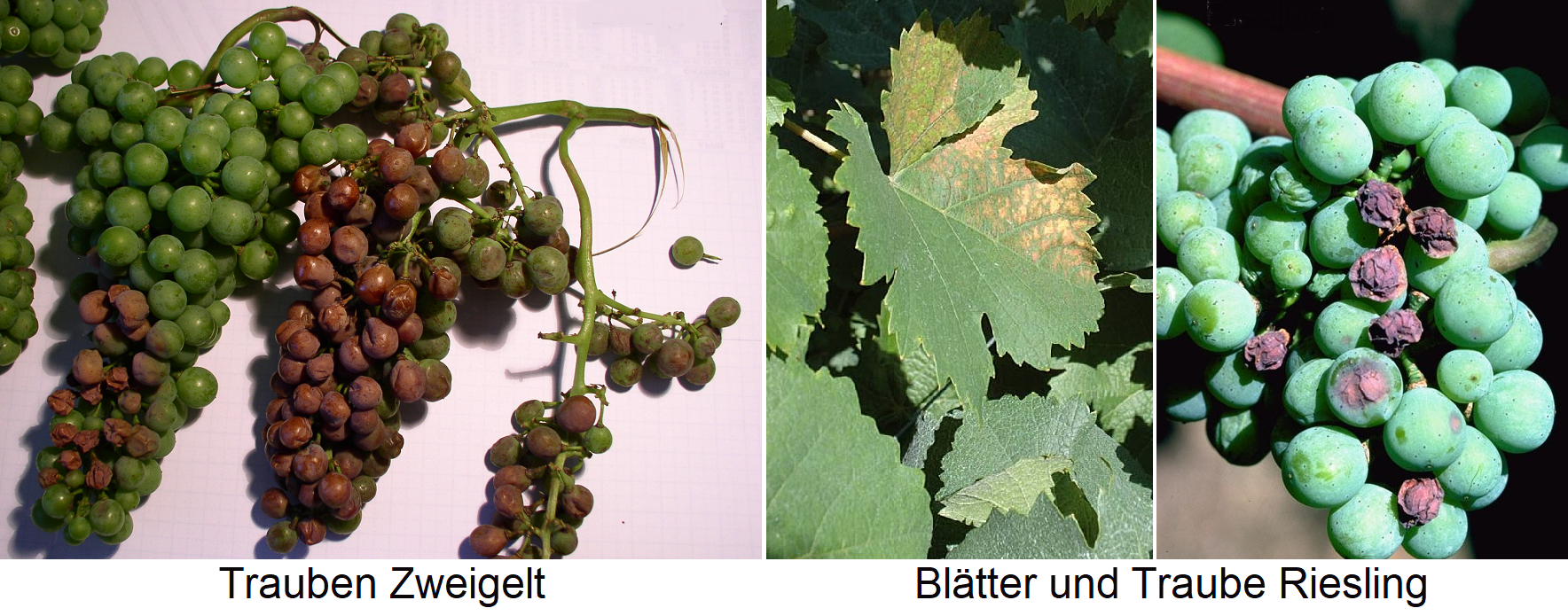 Sunburn - damage to the Grüner Veltliner grape and Riesling leaf and grape
