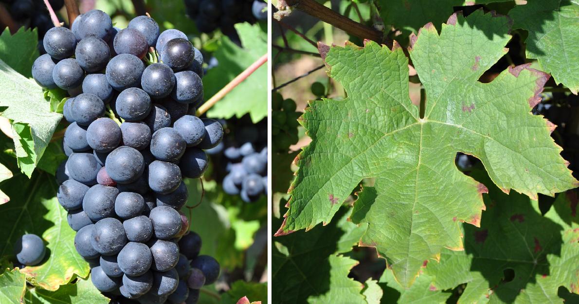 Bondola - grape and leaf