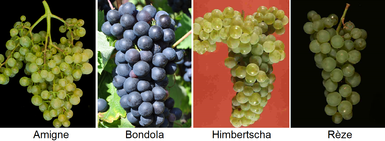 Landsorten - Old plants: Amigne, Bondola, Himbertscha, Rèze