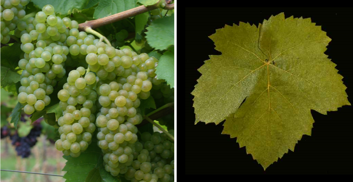 Arvine - grape and leaf
