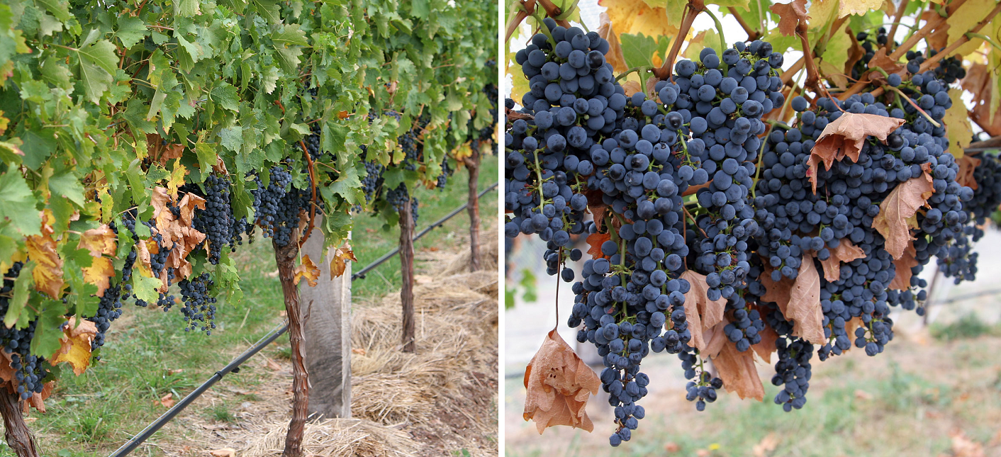 Canopy Management - Vineyard with dense foliage / rich yield