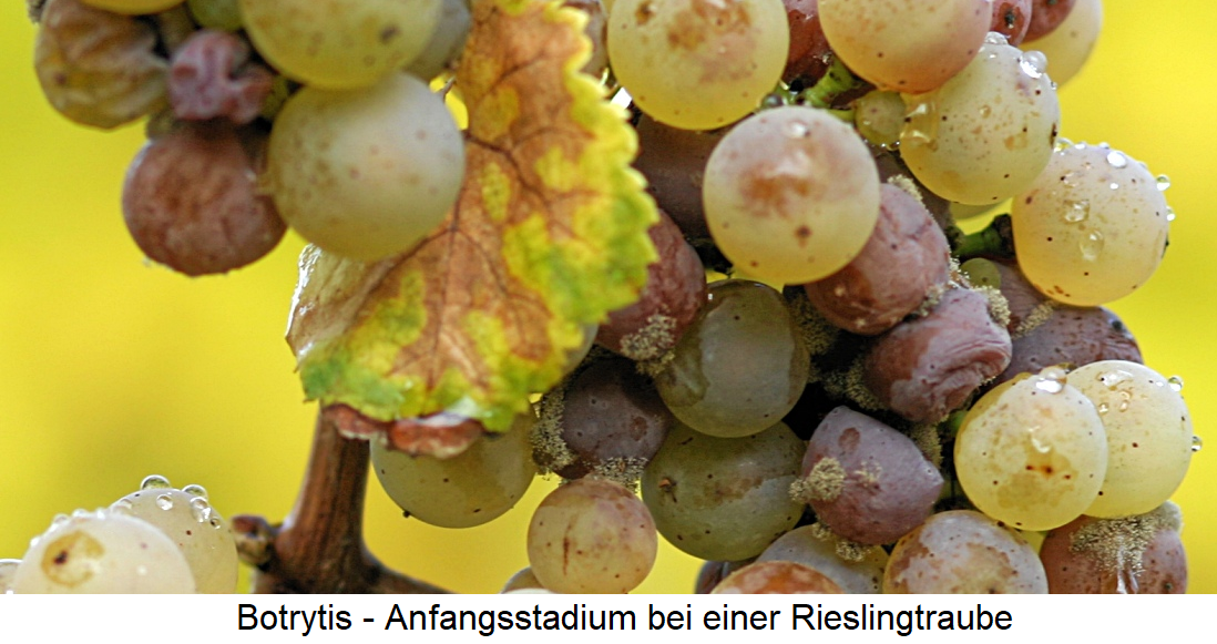 Botrytis - early stage of a Riesling grape