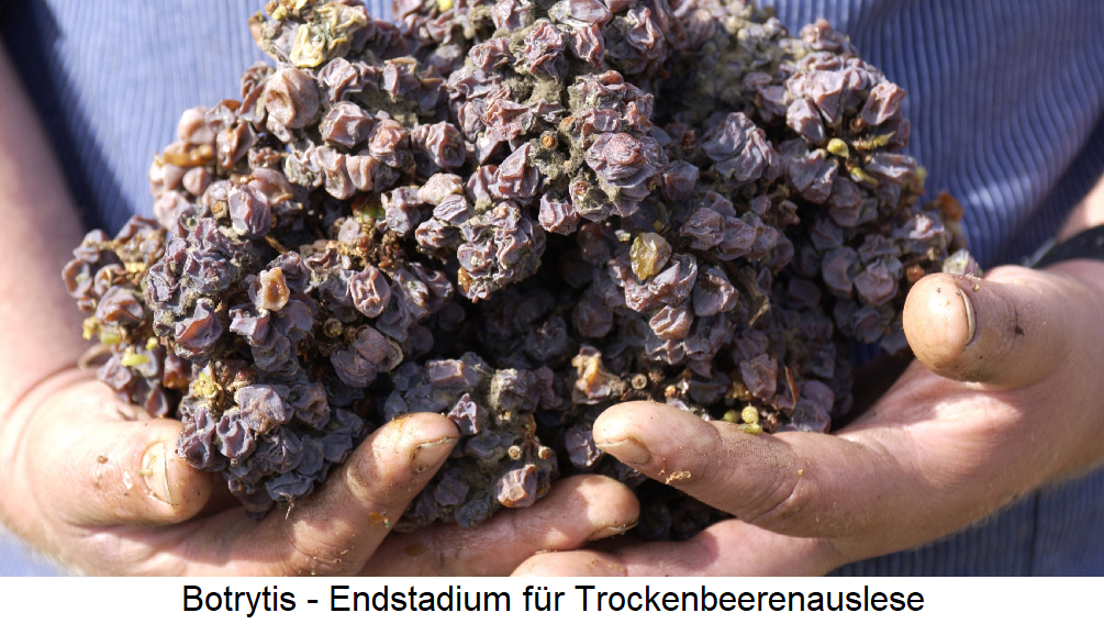 Botrytis - final stage for dry berry selection