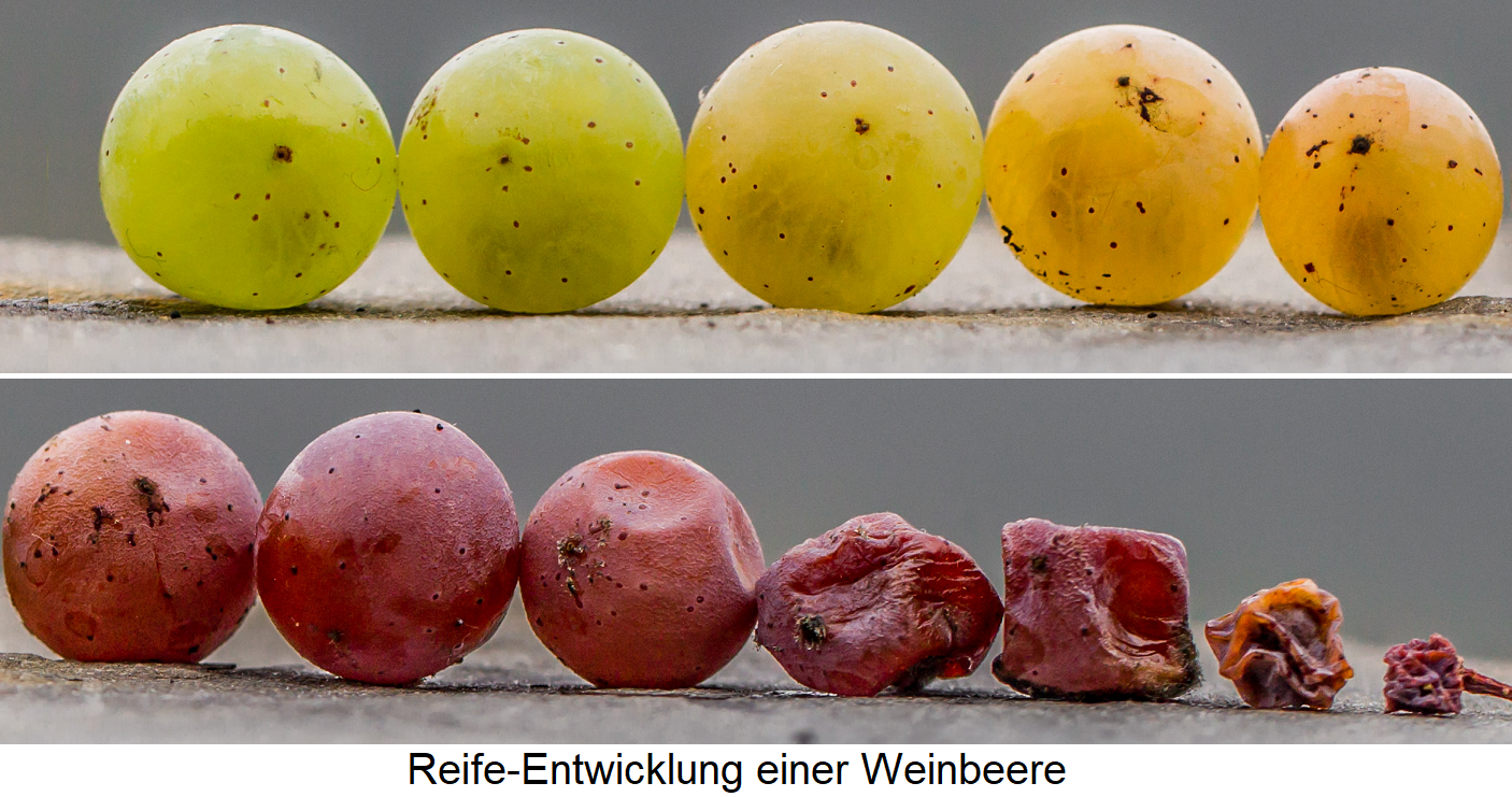physiological ripeness - maturity of the grapeberry from green to red to dried