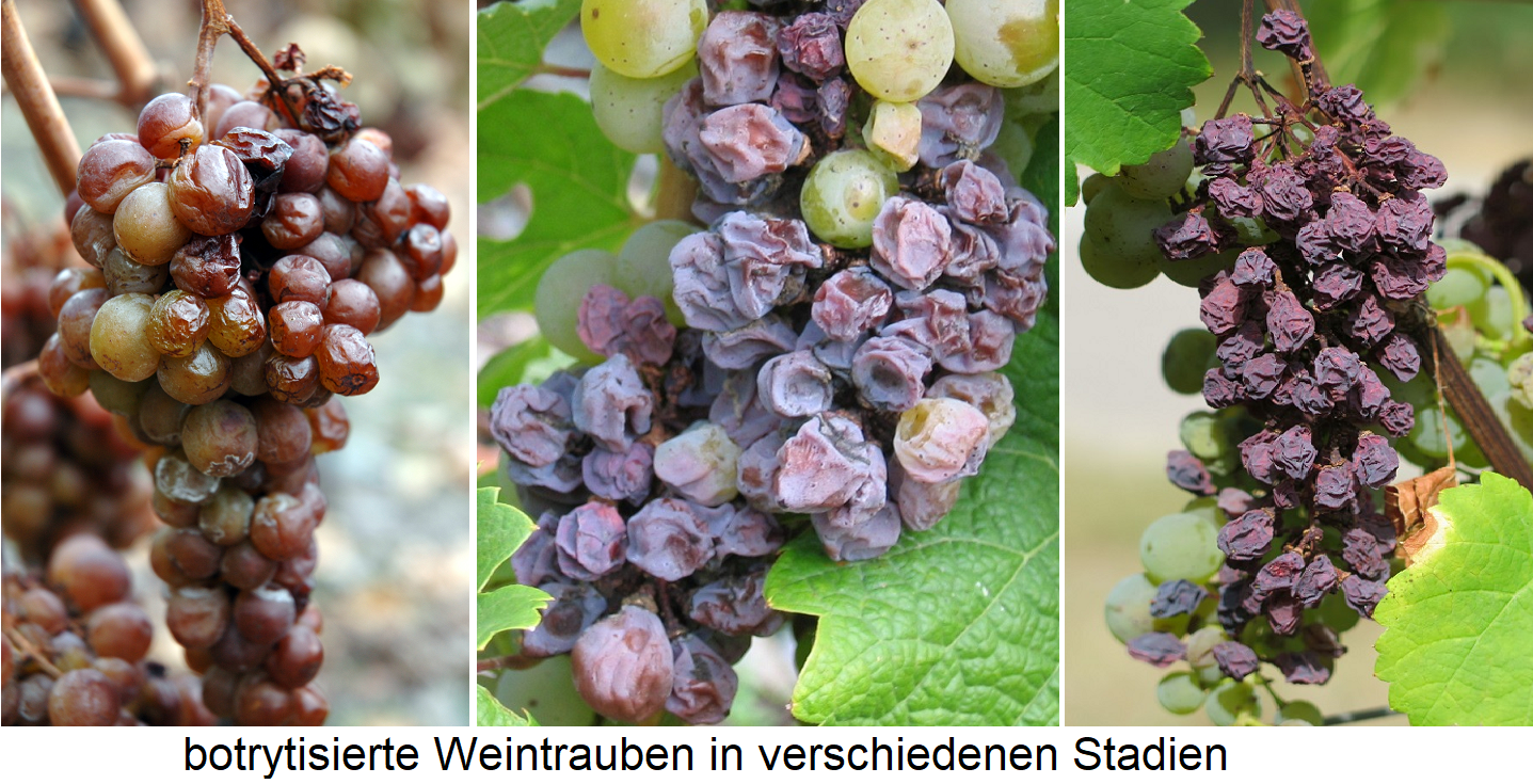 Botrytis - three grapes in different stages