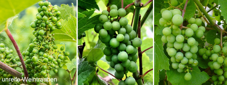 Maturation - three unripe grapes (green)