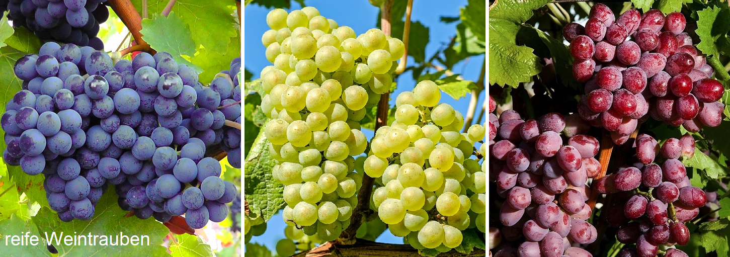Maturation - three ripe grapes (blue, yellow-green, red)