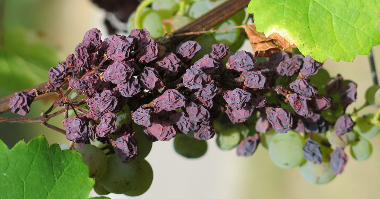 Raisins - bunch of grapes with dried berries