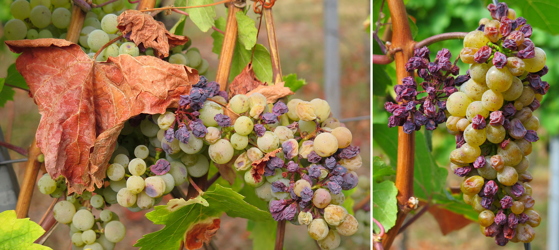 Drought / Dryness - Grapes and leaves