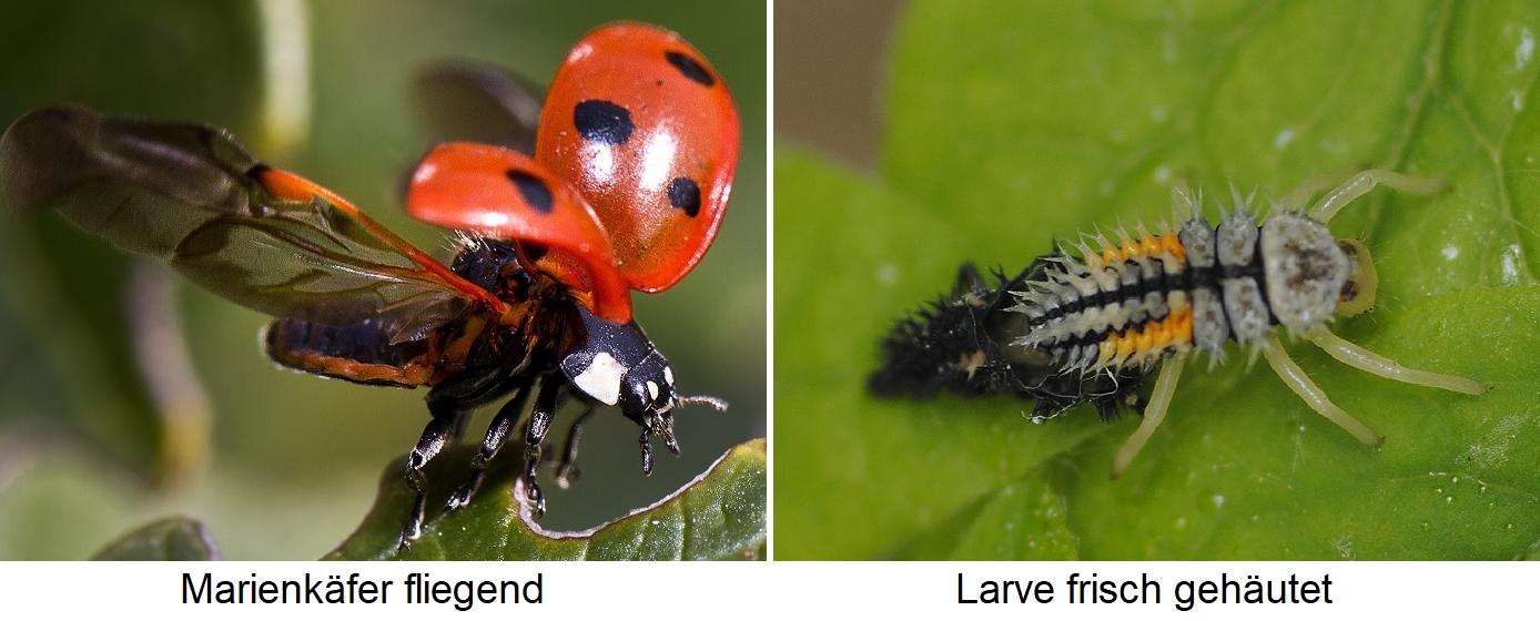 Ladybird - flying beetle and freshly skinned larva