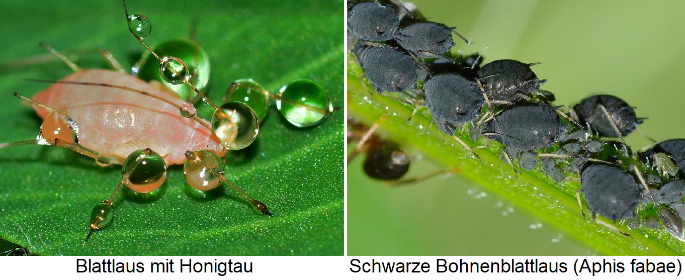 Aphids leaf louse with honeydew and bean aphids