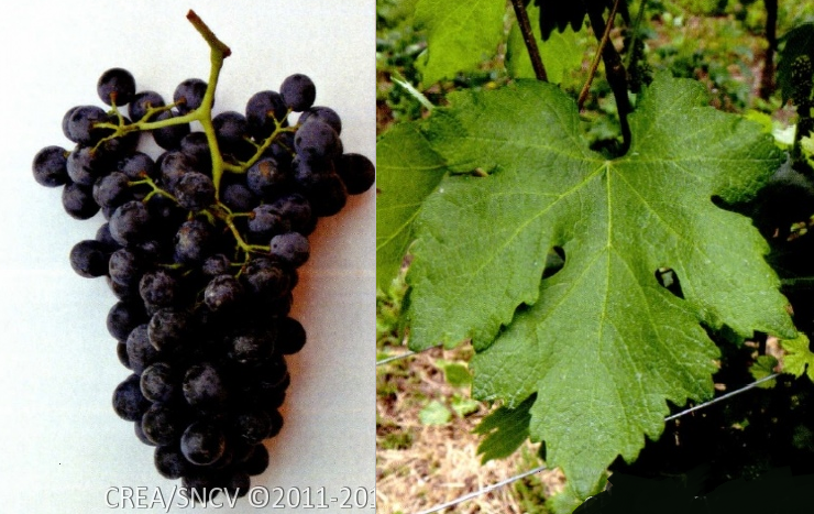Negrone - grape leaf