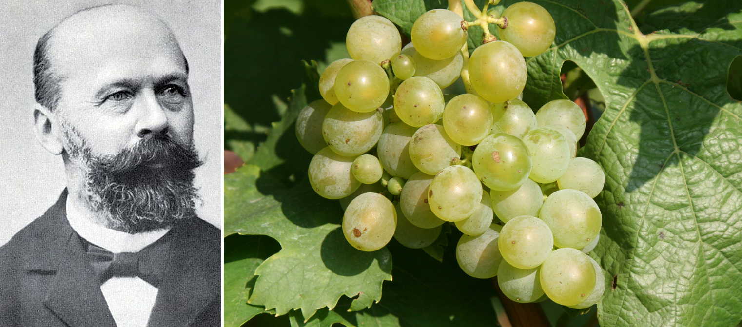 Müller-Thurgau - portrait and grape