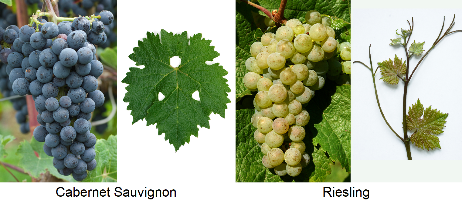 Morphology - Cabernet Sauvignon and Riesling with grape and leaf
