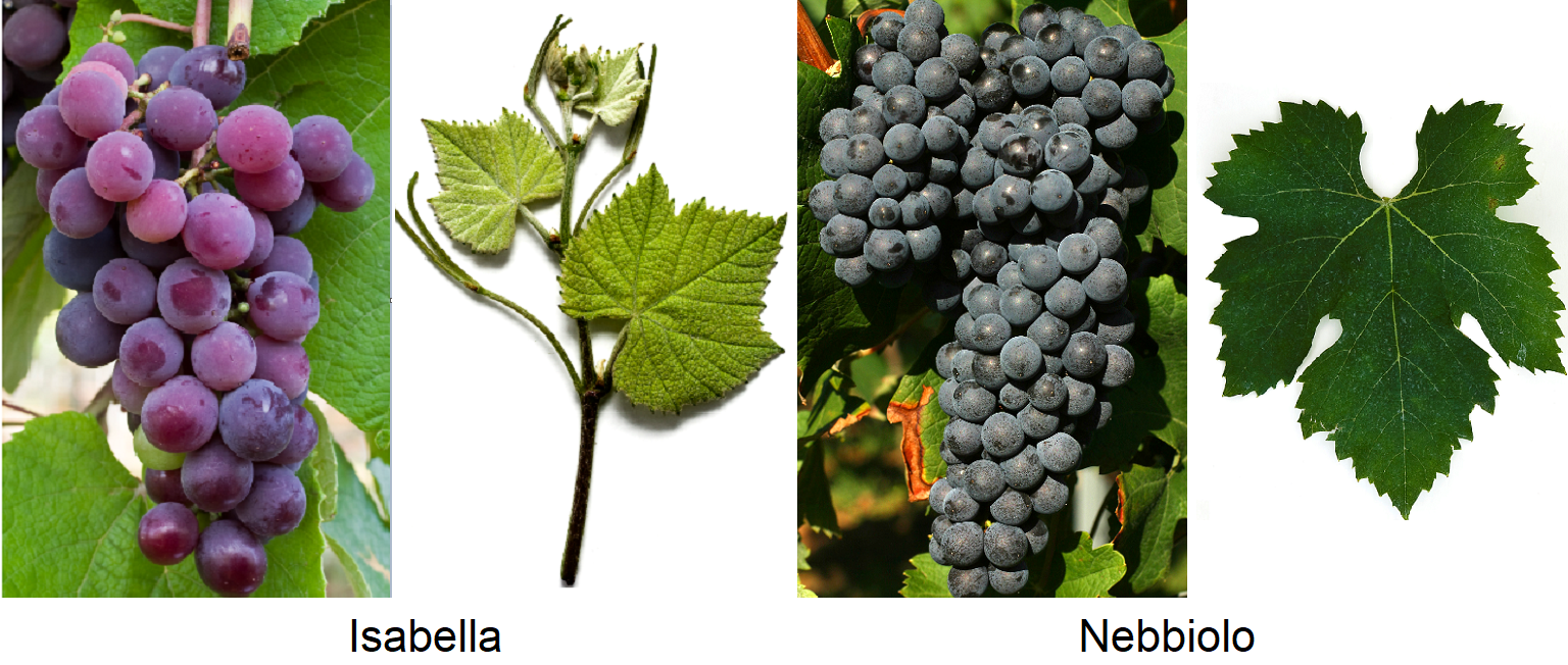 Morphology - Isabella and Nebbiolo grape and leaf respectively