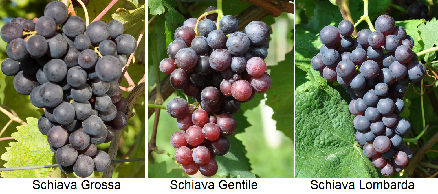 Schiava Group - Grapes from Schiava Grossa, Schiava Gentile and Schiava Lombarda