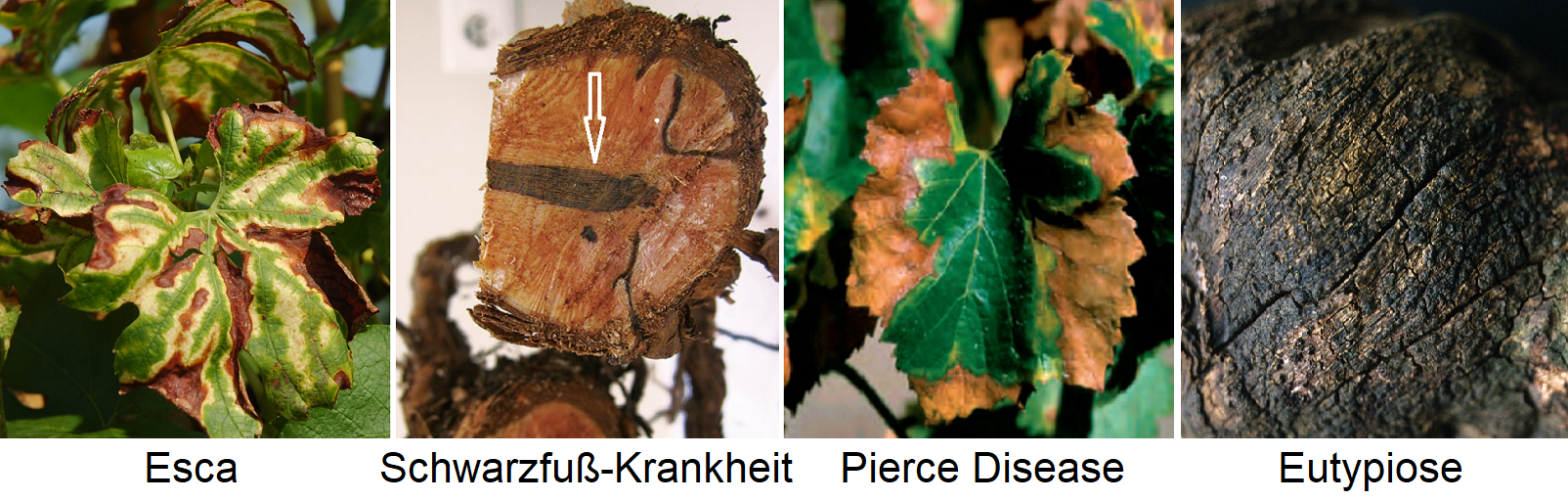 Necrosis - Esca (leaf), Black Foot Disease (root), Pierce Disease (leaf) and Eutypiose (wood)