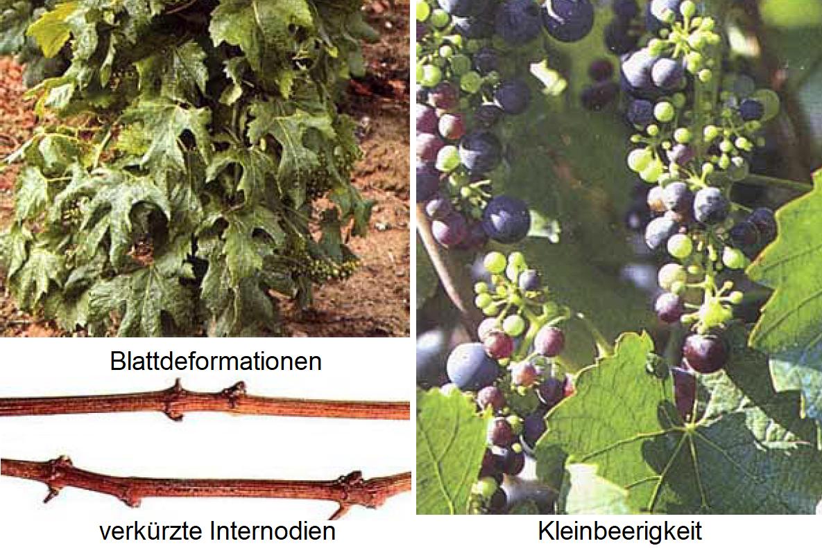 Brushwood disease - symptoms leaves, grapes and shoots (short nodule)