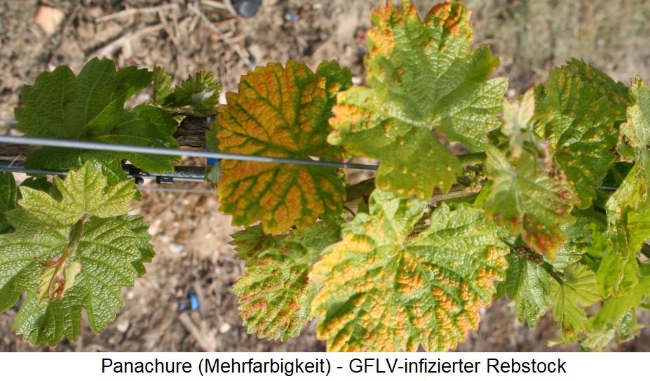 Reisigkrankheit - Panachure (Mehrfarbigkeit) - GFLV-infizierter Rebstock