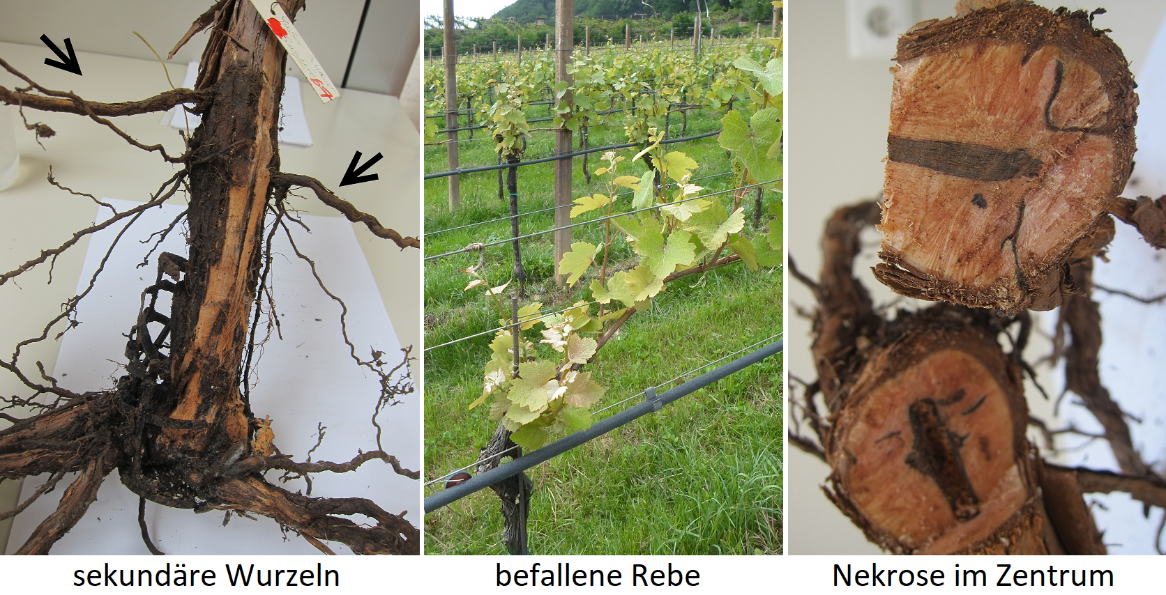 Black-foot disease - secondary roots, infested vine and necrosis in the stem center